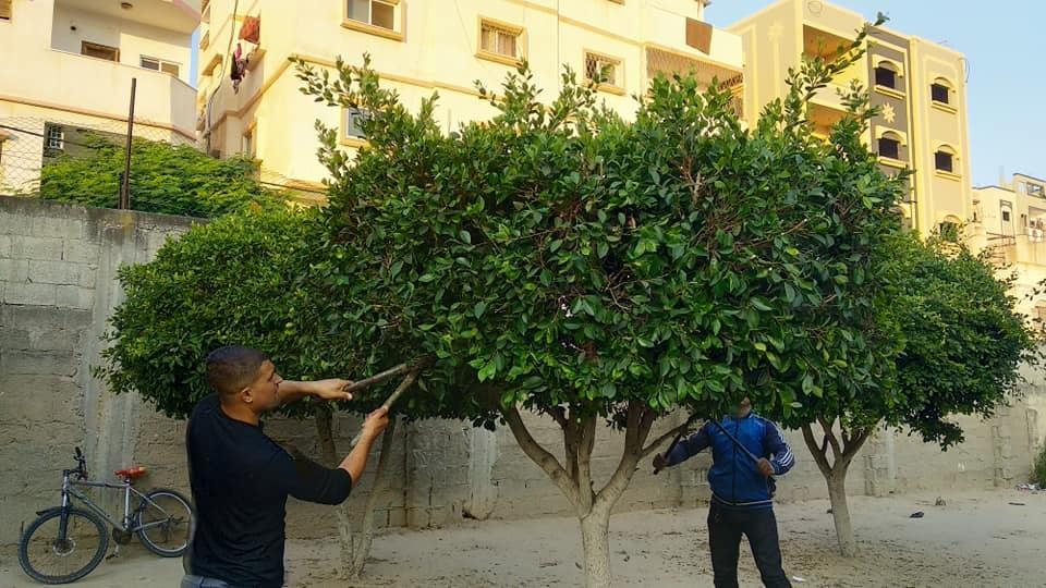 قسم الحدائق والمتنزهات ببلدية دير البلح يقوم بتقليم الأشجار بمدرسة العائشية الأساسية للبنات