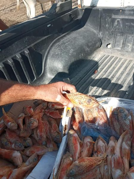 استمراراً لحملات التفتيش والمتابعة إتلاف كميات من أسماك الجرع المجمدة