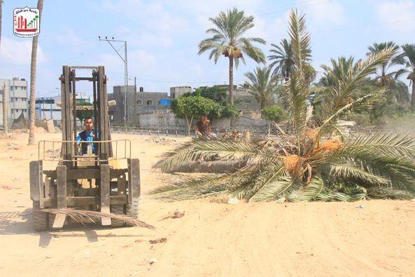 طواقم بلدية دير البلح خلال قيامهم بإزالة شجرة نخيل تشكل خطراً على حياة المواطنين